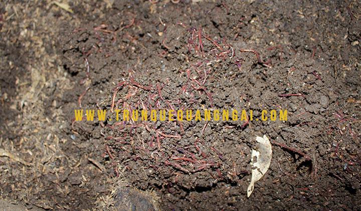 bán phân trùn quế